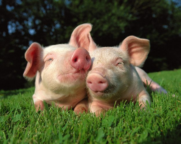 Two Piglets in the Grass --- Image by © Image Source/Corbis
